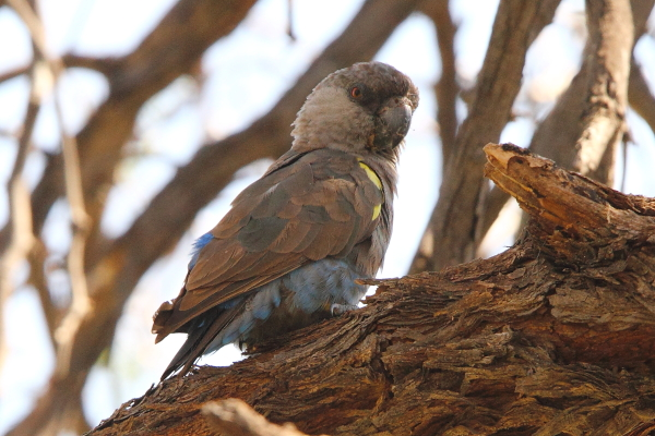 A Rüppell's Parrot perched in an Acacia tree near a dry riverbed in Omaruru, central Namibia