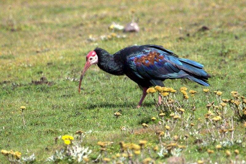 Southern Bald Ibis in typical habitat, Sani Pass, Lesotho, by Adam Riley