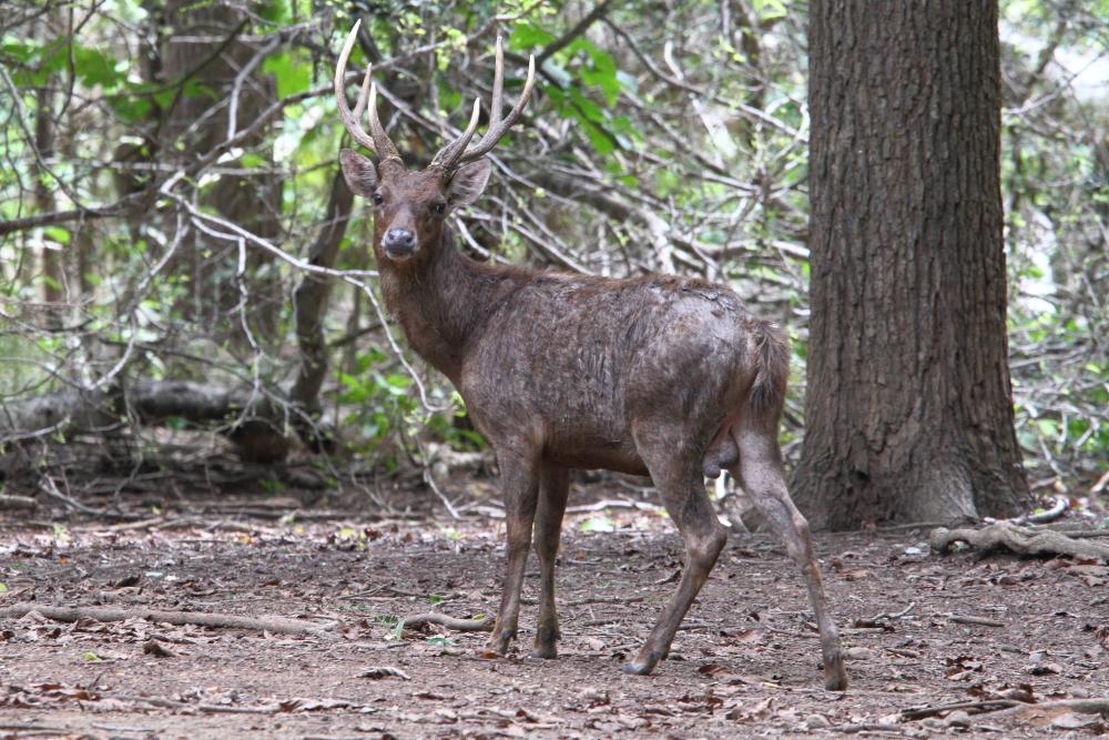 Timor Deer are abundant on Komodo Island and are the main prey of the Komodo Dragons. Image by Adam Riley.