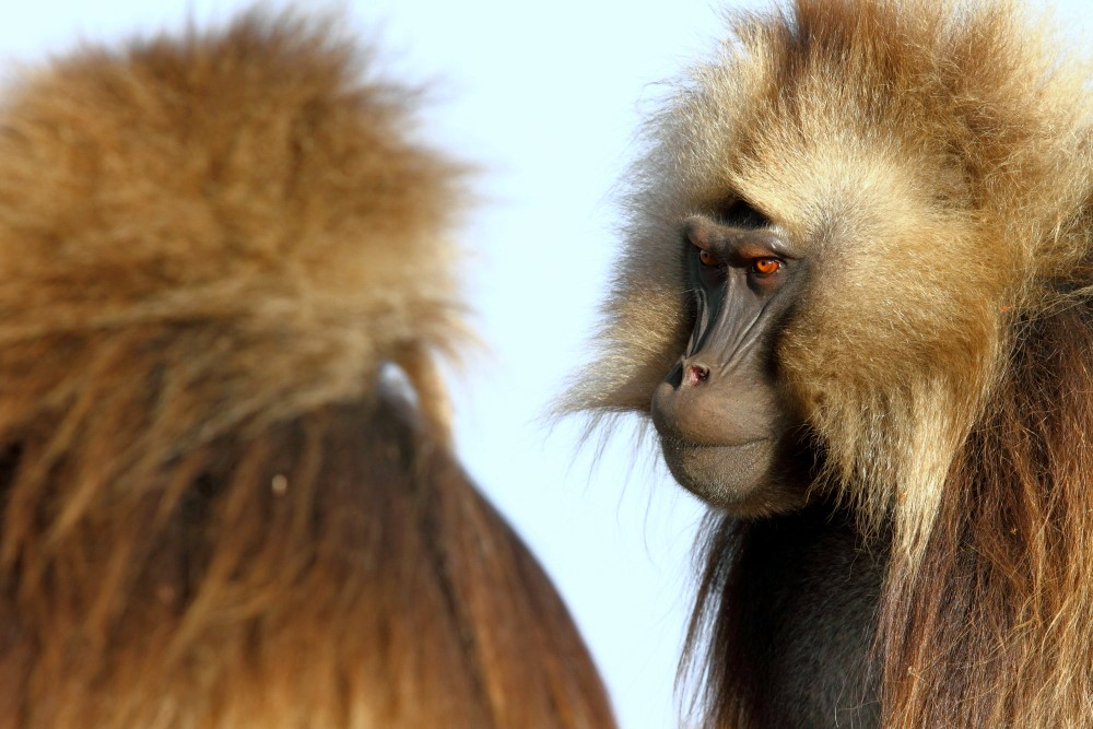 Gelada communications include intense staring with railed eyebrows