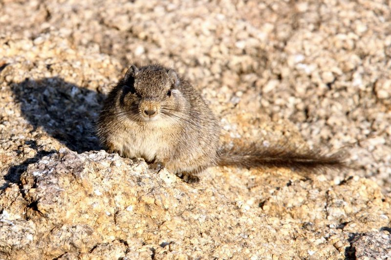 Frontal view of a Dassie Rat enjoying early morning sunlight