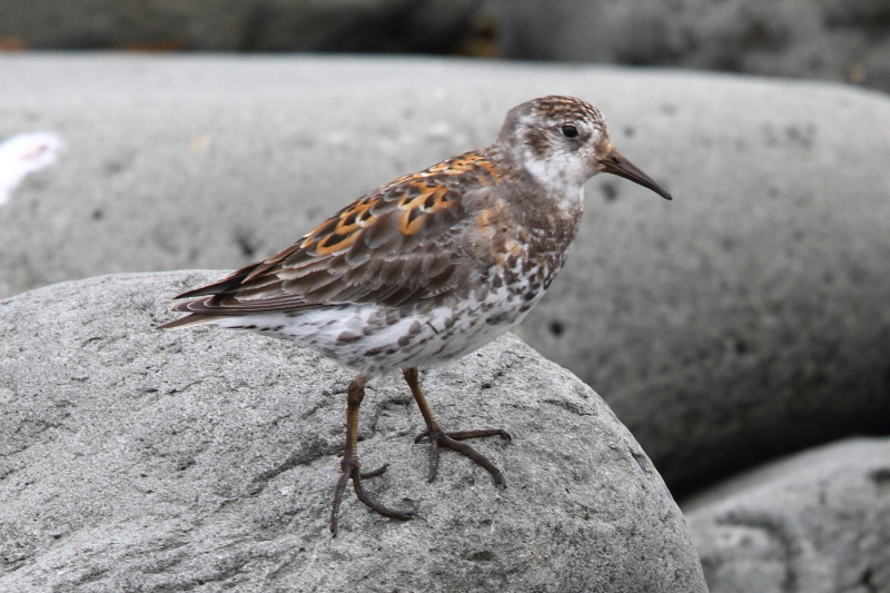 The unusually plumaged Rock Sandpiper. Image by Adam Riley