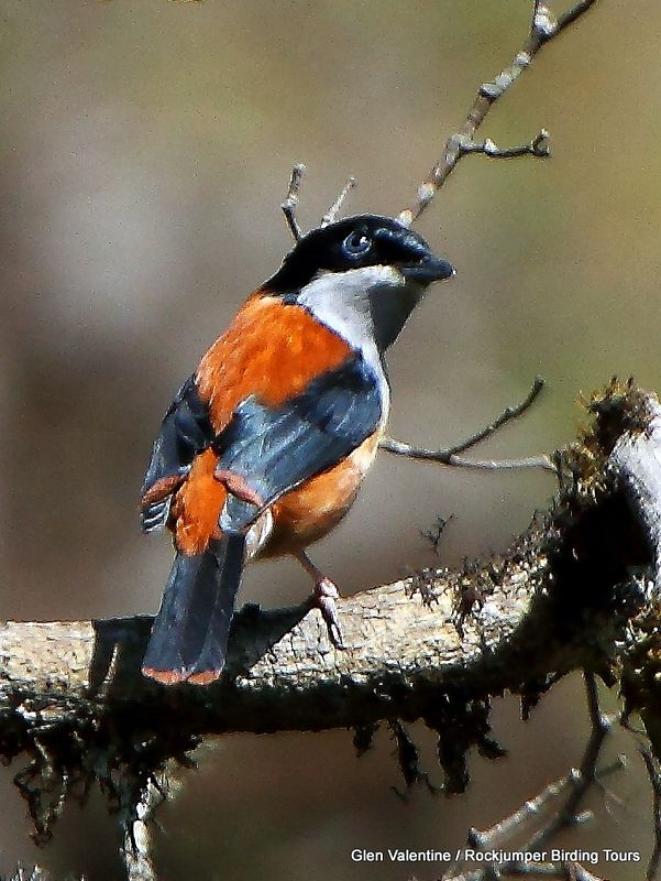 The seldom-seen and extremely elusive Black-headed Shrike-Babbler is another Bhutanese specialty