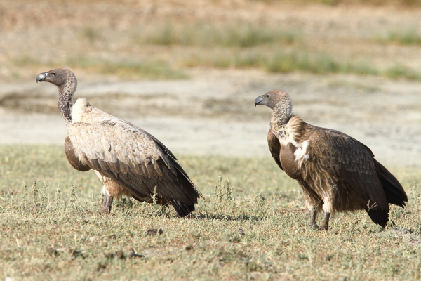 White-backed Vultures by Adam Riley