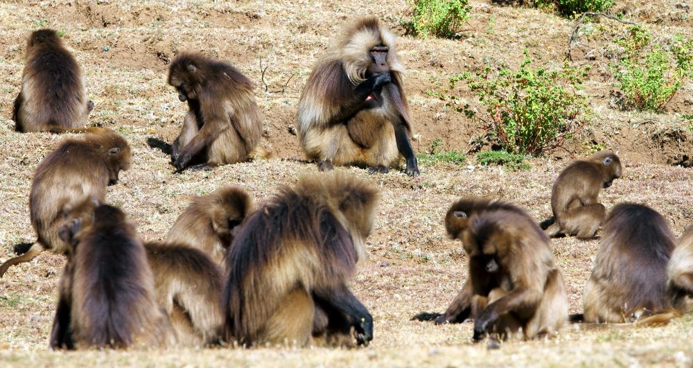 Foraging Geladas in their typical crouched feeding position