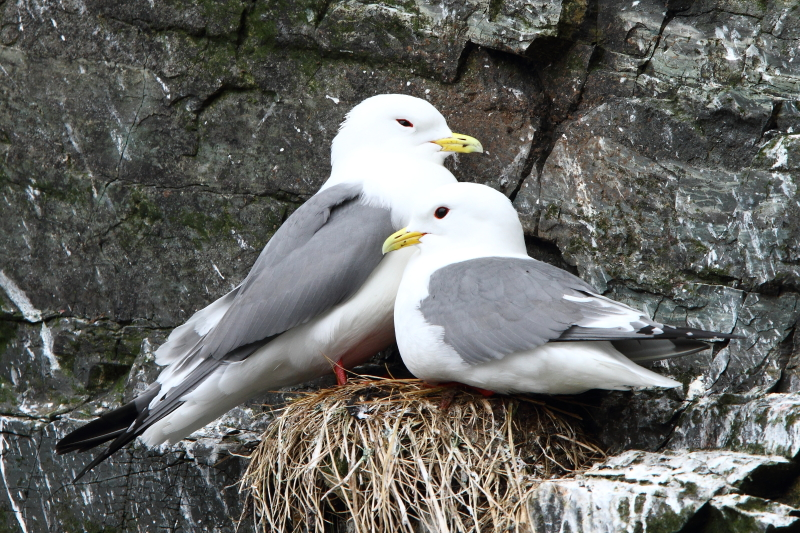A nesting pair of Red-legged Kittiwakes – another species restricted to remote areas of the North Atlantic