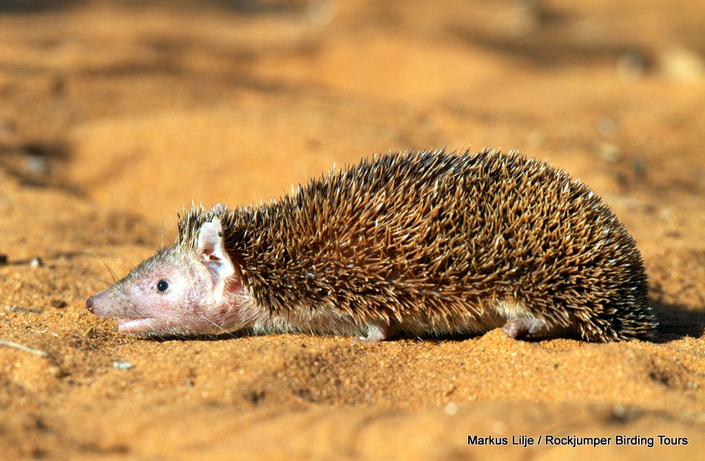 Lesser Hedgehog Tenrec by Markus Lilje
