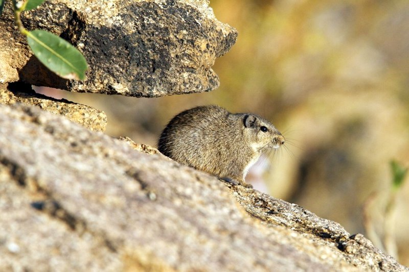 Dassie Rat in typical rocky habitat in Namibia's Erongo Mountains