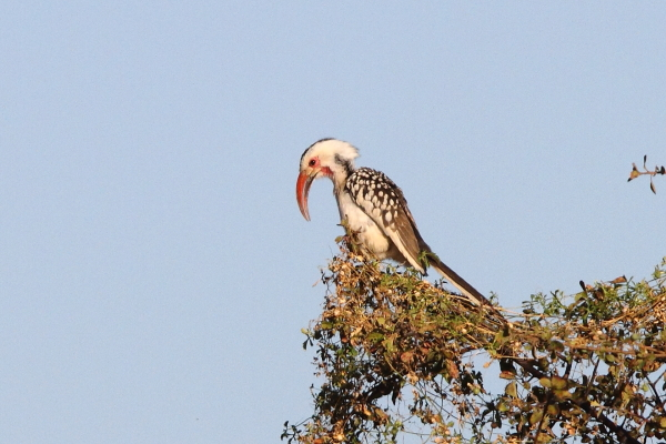 A calling Damara Hornbill from the Erongo Mountains in central Namibia