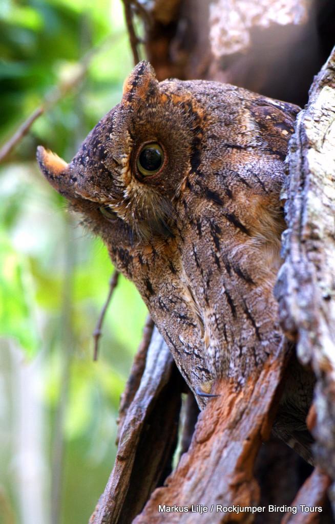Torotoroka Scops Owl by Markus Lilje