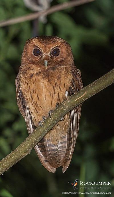 Cinnamon Screech Owl by Rob Williams