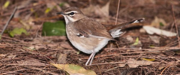 Brown Scrub Robin is a secretive coastal forest songster that was discovered in KwaZulu-Natal province by Johan Wahlberg. Image by Adam Riley