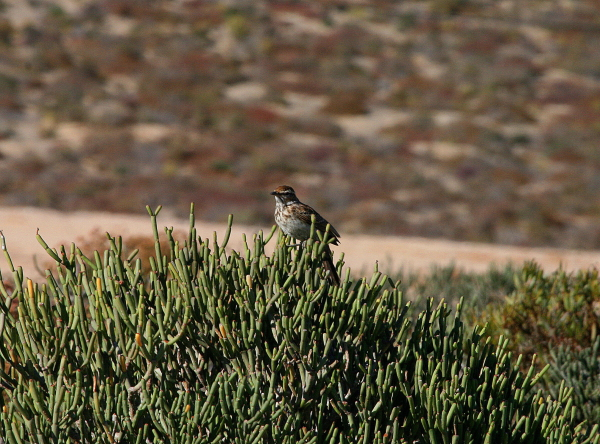 An uncommon photo of a difficult and very localized bird, Barlow's Lark