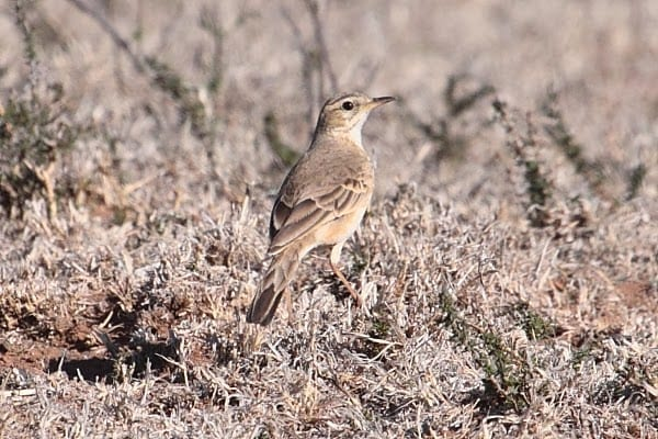 8. Pipit-Long-tailed-Cawoods-Hope-Christiana-SA-AR-12 (1)