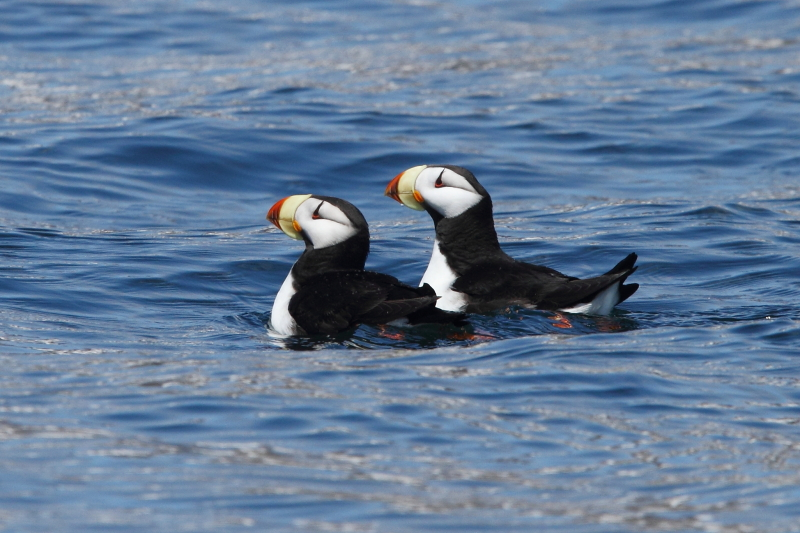 A pair of Horned Puffin. Image by Adam Riley