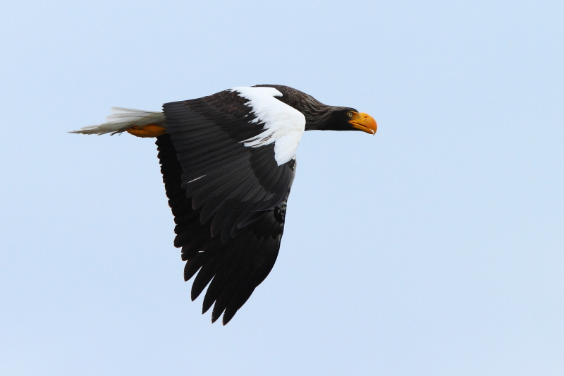 The mighty Steller's Sea Eagle in flight across the Zhapanova River. Image by Adam Riley