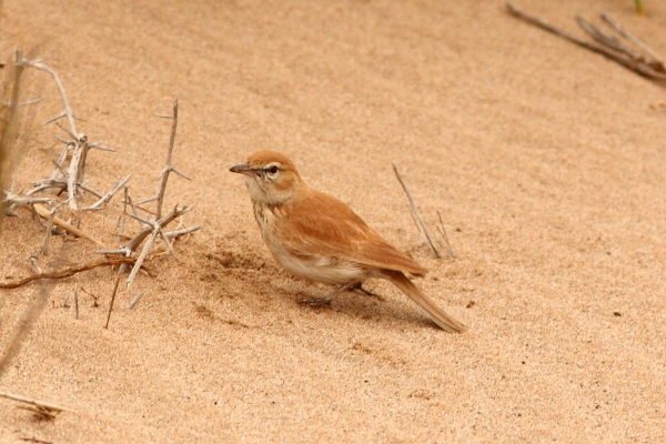 Namibia's only true endemic, the lovely Dune Lark whose coloration matches that of the sandy riverbeds and surrounding dunes where it occurs