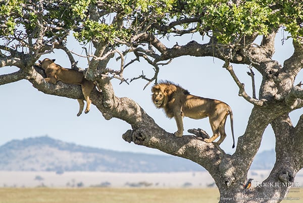 Lions in a tree by George L. Armistead