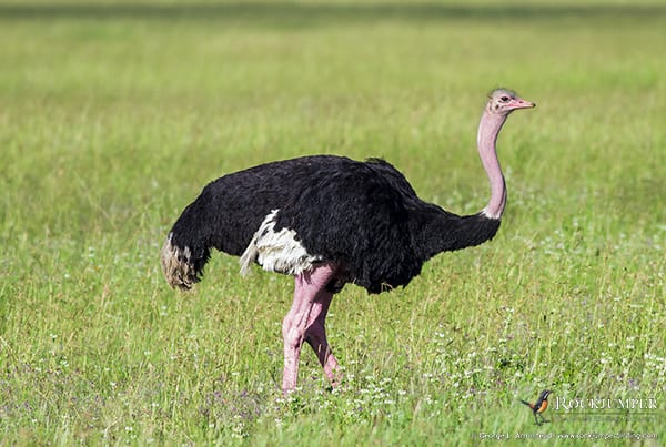 Ostrich by George L. Armistead