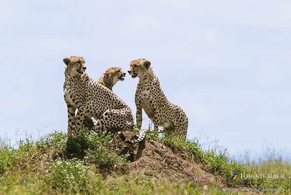 Cheetah by Adam Riley