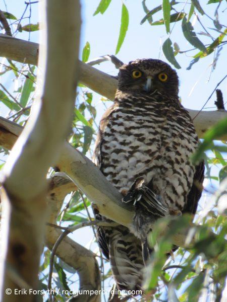 Powerful Owl – Erik Forsyth