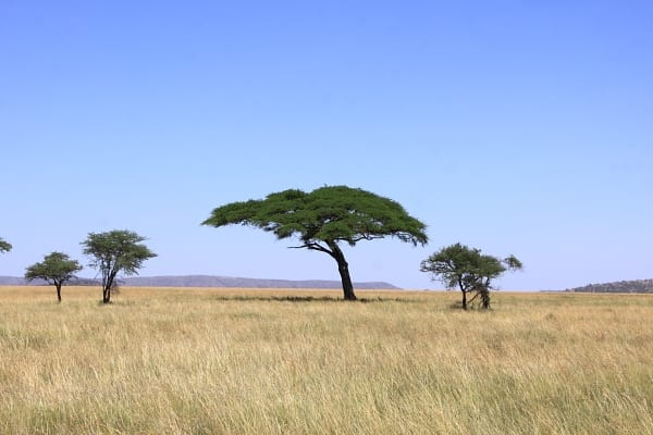 Typical Serengeti scenery of Acacia-studded grasslands