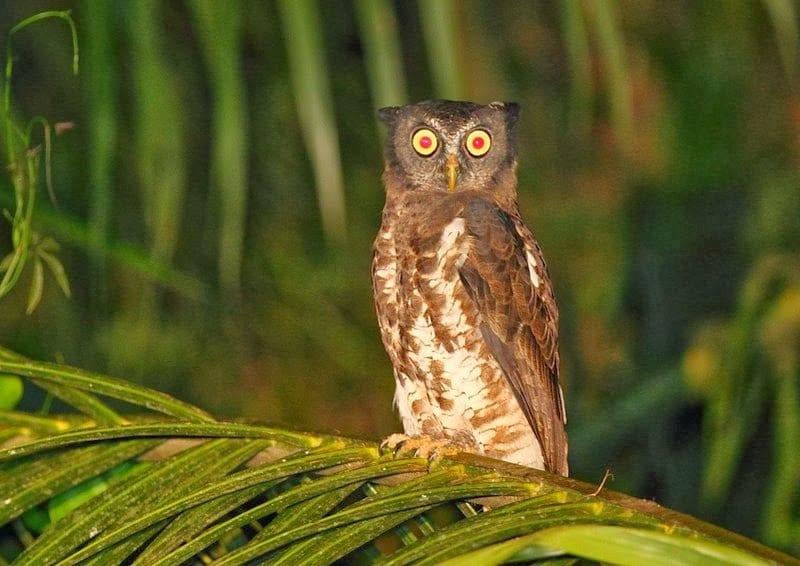Akun Eagle-Owl, Nsuta Forest by David Hoddinott