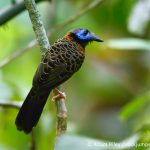 Ocellated Antbird by Adam Riley