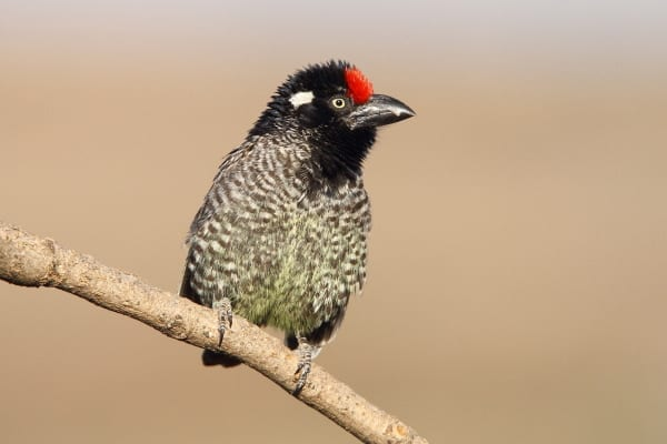 The Banded Barbet is a medium-sized barbet that is endemic to Ethiopia and Eritrea. This image was also taken at Lalibela, Ethiopia