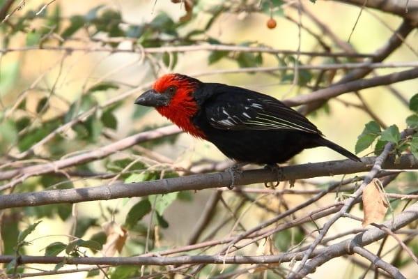Black-billed Barbet is a northern sister species of Black-collared Barbet