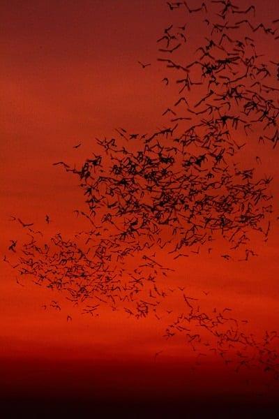 Bat Emergence at dusk at the spectacular Shwedagon Pagoda, Yangon