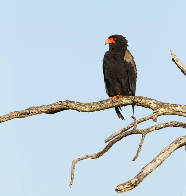 The Bateleur is one of the world's classiest raptors and is commonly found roosting in the Ngorongoro Crater