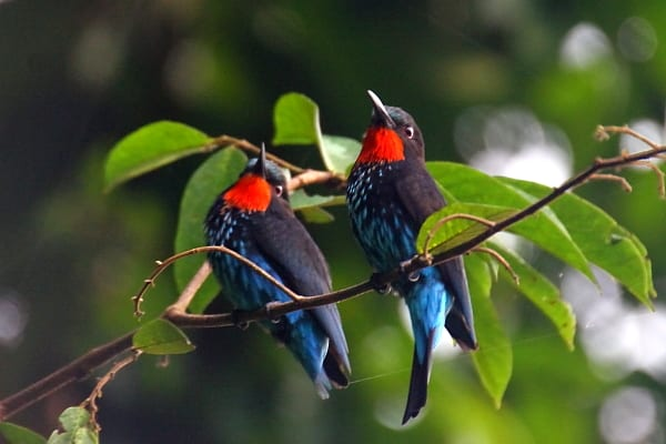 Bee-eater-Black-Mpivie-Channel-Loango-NP-Gabon-AR-008-fixed-1