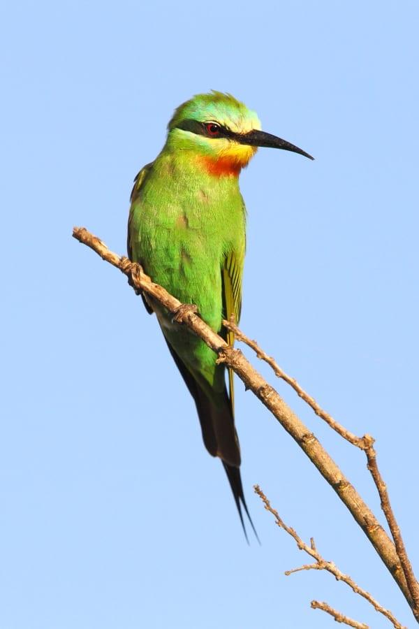 Bee-eater-Blue-cheeked-Makakatana-SA-AR