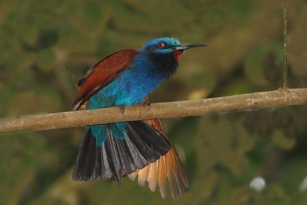 Bee-eater-Blue-headed-Atewa-Ghana-AR
