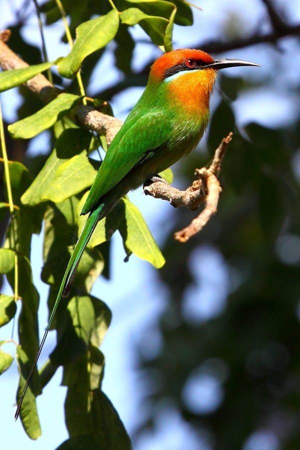 Bee-eater-Bohms-Selous-Tanz-AR-5-port-fixed