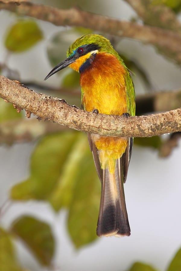 Bee-eater-Cinnamon-chested-Kakamega-Forest-Kenya-AR-3-1