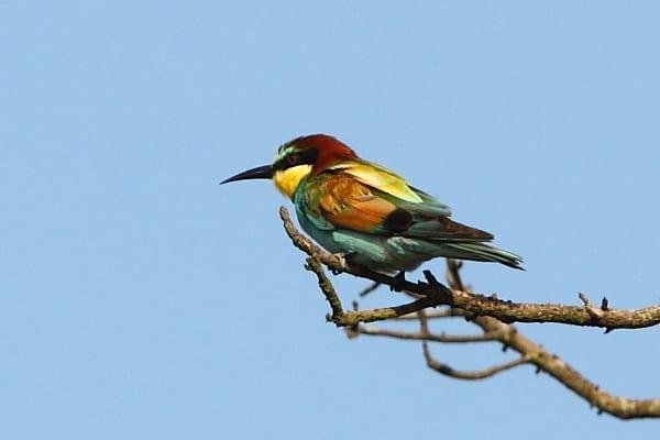 Bee-eater-European-Makakatana-SA-AR-006