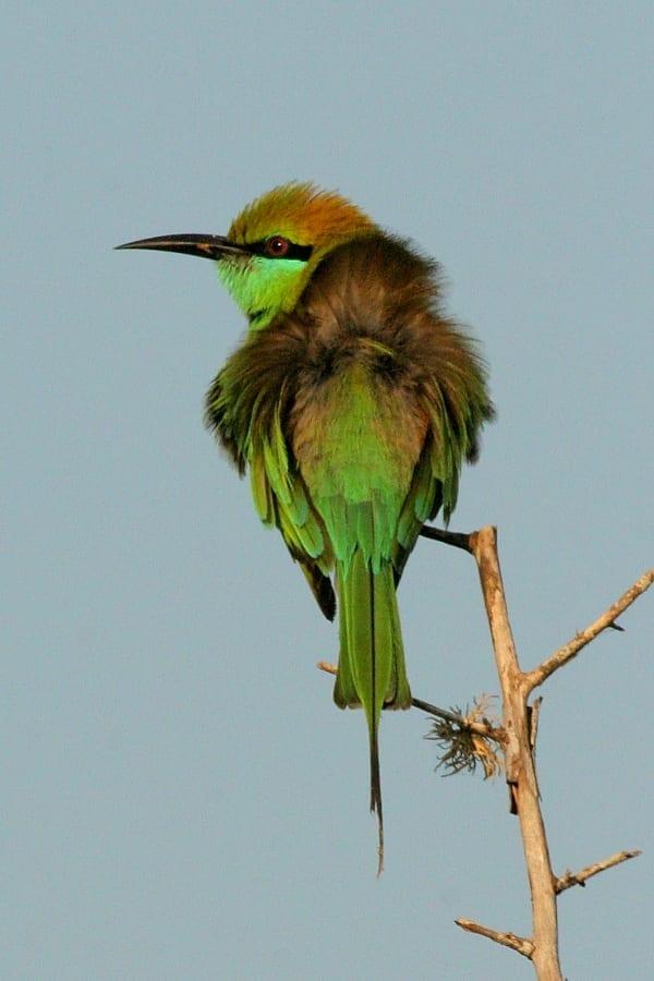 Bee-eater-Green-Yala-Sri-Lanka-AR-13
