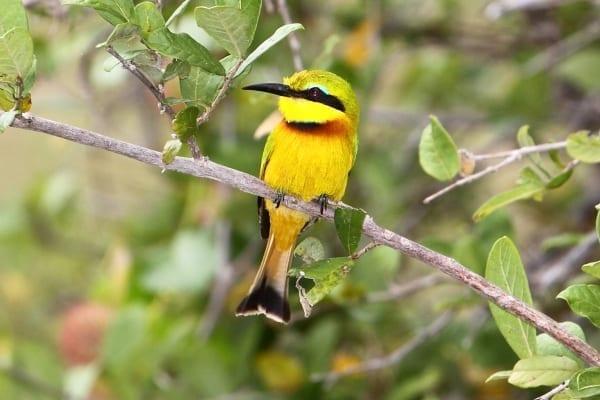 Bee-eater-Little-Selous-Tanz-AR-fixed-1