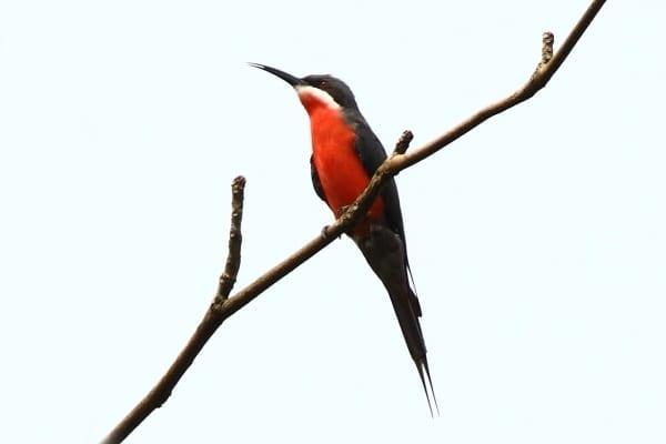 Bee-eater-Rosy-Abrafo-Ghana-AR-134-1