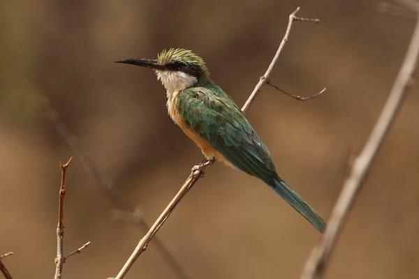 Bee-eater-Somali-CR