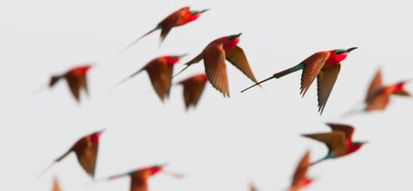 Bee-eater-Southern-Carmine-Kalizo-Namibia-AR-53