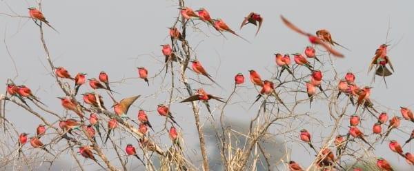 Bee-eater-Southern-Carmine-Kalizo-Namibia-AR-74-1