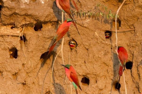 Bee-eater-Southern-Carmine-Shakawe-Botswana-AR-41
