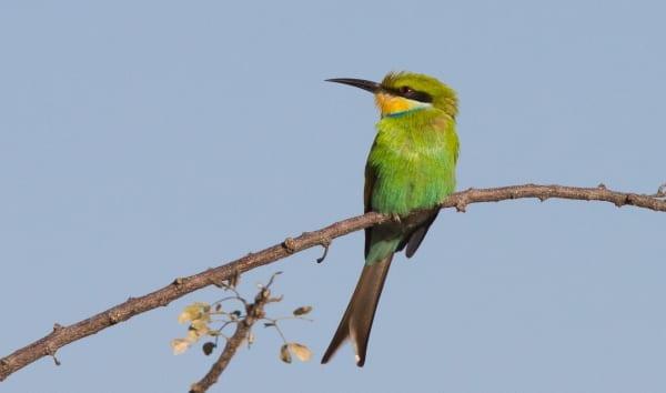 Bee-eater-Swallow-tailed-Erongo-Mountains-Namibia-AR-18-1