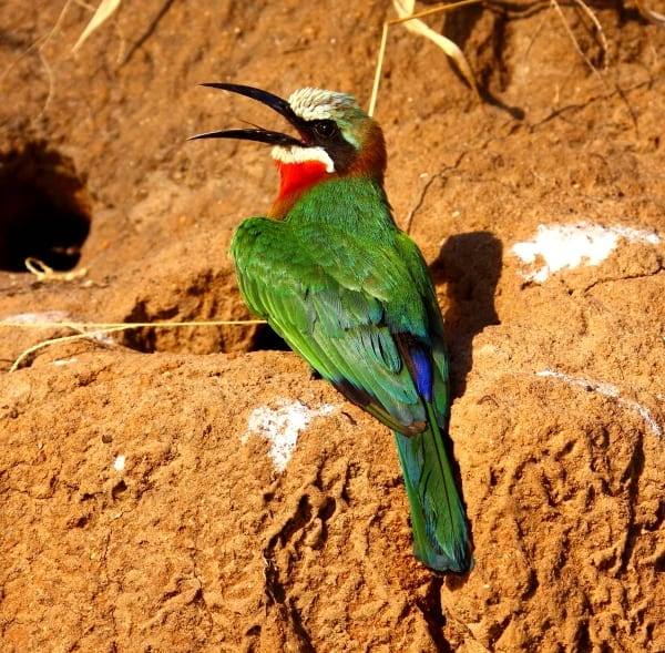 Bee-eater-White-fronted-Selous-Tanz-AR-76-fixed