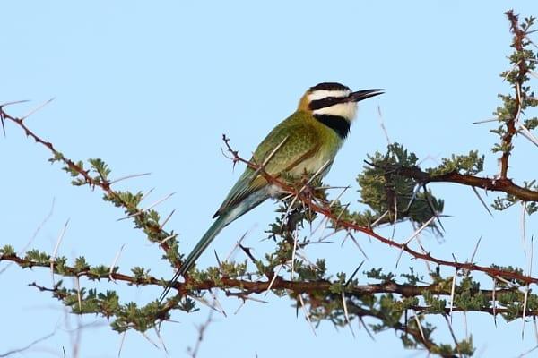 Bee-eater-White-throated-Buffalo-Springs-NP-Kenya-AR-11