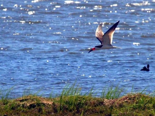 Black Skimmer – the thrill of the chase