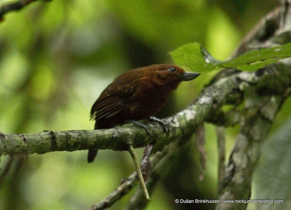 Recurve-billed Bushbird – Dušan Brinkhuizen